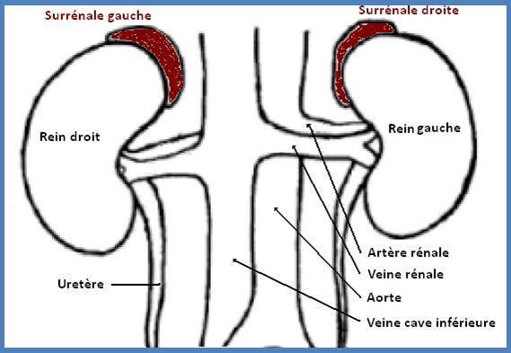 cancer glandes surrénales